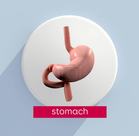 stomach anatomy model icon