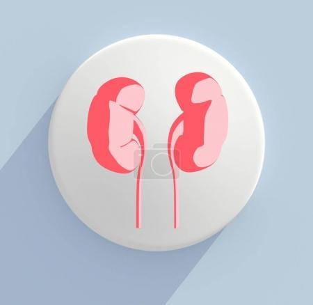 kidneys anatomy model icon