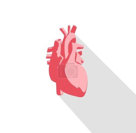 Human heart anatomy model icon