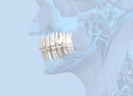 Human teeth anatomy model
