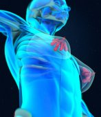 Female breast anatomy model