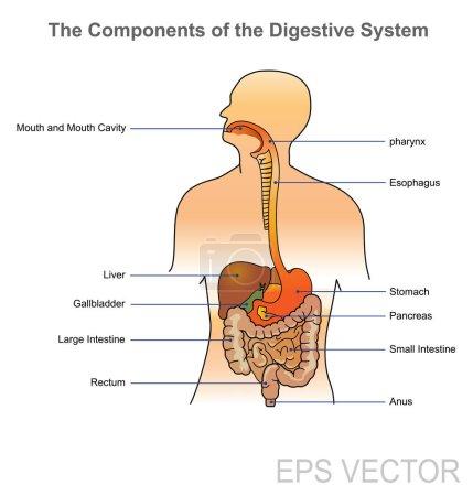Human Digestive system. Vector design, Illustration.