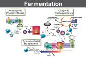 Fermentation is a metabolic process that converts sugar to acids gases or alcohol It occurs in yeast and bacteria and also in oxygen-starved muscle cells as in the case of lactic acid fermentation
