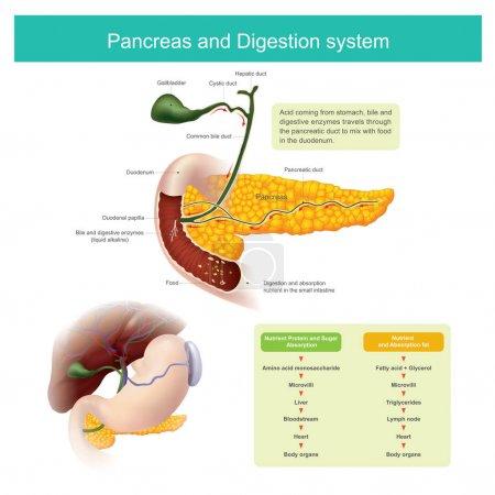 die Verdauungsenzyme wandern durch den Pankreasgang, um sich zu mischen