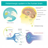 Histaminergic  system in the human brain Histamine Illustration