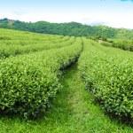 Tea Plantations at Chiang-Mai, Thailand...