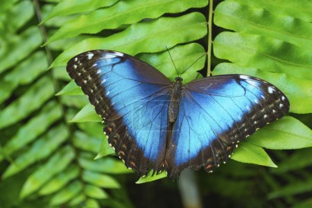 Blue butterfly on green leaves.