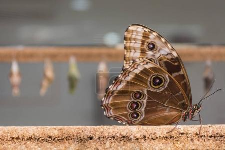 close-up of a brown butterfly.