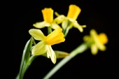 Daffodil or narcissus flowers on a black background