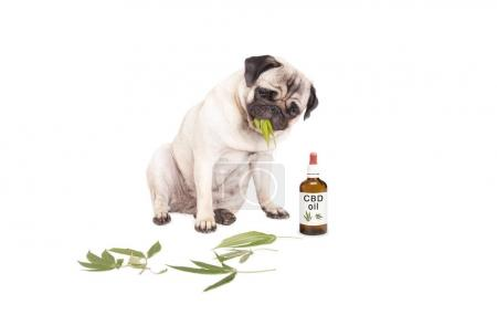 Photo for Cute pug puppy pet dog eating weed, Cannabis sativa, leaves sitting next to dropper bottle of CBD oil for animals, isolated on white background - Royalty Free Image