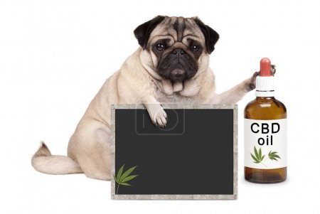 Photo for Lovely cute pug puppy dog sitting down with bottle of CBD oil and blackboard sign, isolated on white background - Royalty Free Image