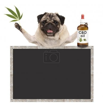 Photo for Smiling pug puppy dog, holding bottle of CBD oil and hemp leaf, with blank blackboard sign, isolated on white background - Royalty Free Image