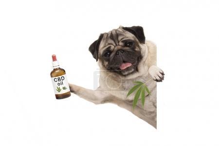 Photo for Cute smiling pug puppy dog holding up bottle of CBD oil and marijuana hemp leaf, isolated on white background - Royalty Free Image