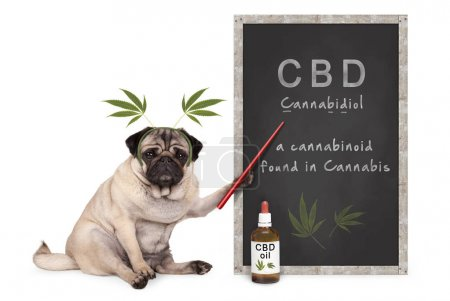 Photo for Pug puppy dog with hemp leaves diadem pointing at blackboard with text CBD and dropper bottle with oil, isolated on white background - Royalty Free Image