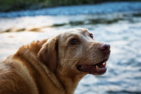 Golden Retriever watching the scenery at the river in Squamish, BC, Canada.