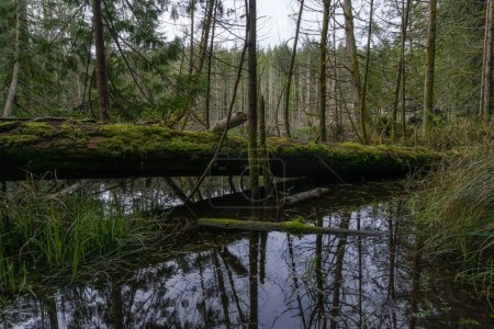 Swamp lake full of trees and branches. Taken in Smuggler Cove Marine Provincial Park, Halfmoon Bay, Sunshine Coast, BC, Canada.
