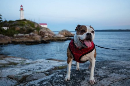 Cute and Adorable Little Bulldog sitting at the rocky shore in Lighthouse Park, West Vancouver, British Columbia, Canada.