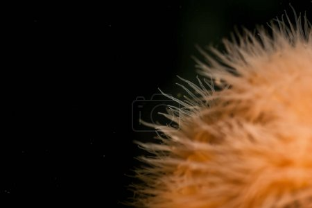 Macro Picture of Orange Plumose Anemone in Pacific Northwest Ocean. Picture taken in Bowyer Island, Greater Vancouver, British Columbia, Canada.