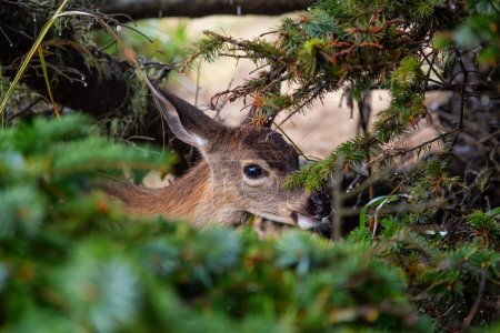 Photo for Small Deer in the forest is eating during a rainy summer day. Taken in Cape Kiwanda, Pacific City, Oregon Coast, United States of America. - Royalty Free Image