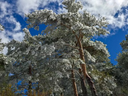 Photo pour Les branches d'arbre de pinus (Pinus sylvestris) sur la forêt enneigée - image libre de droit