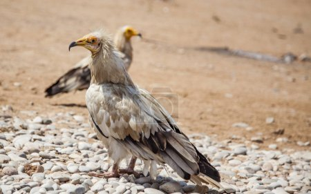 Egyptian vultures in Socotra