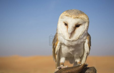 Barn Owl sitting on leather glove