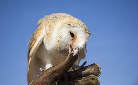 Barn Owl sitting on leather glove