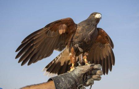 Harrier Hawk sitting on hand