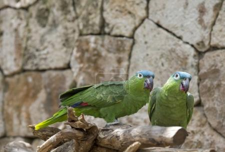 wild parrots in Mexico
