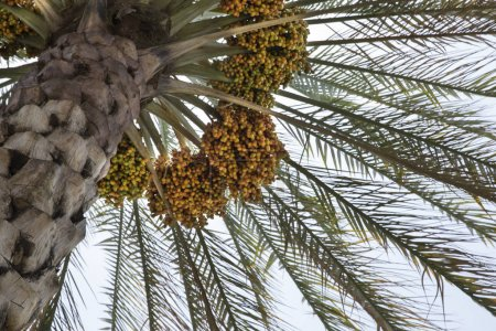 dates growing on date palm tree