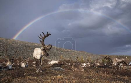 reindeer and rainbow in Mongolia