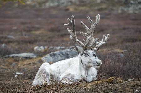 reindeer resting in Northern Mongolia
