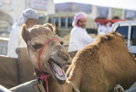 Sinaw, Oman, November 30th, 2017: camel with red rope on muzzle and working man on the background