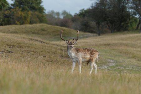 Male fallow deer at mating season...
