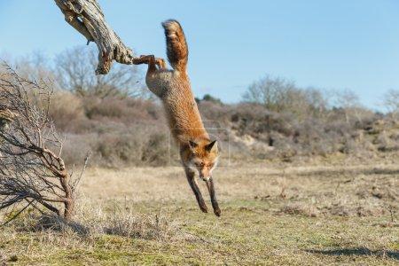 Photo pour Renard roux marche sur l'arbre mort - image libre de droit