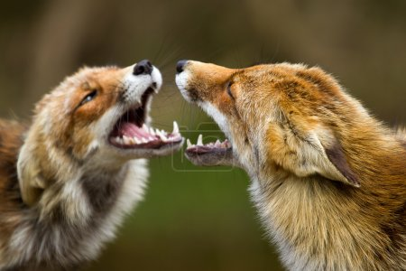 Red foxes fighting