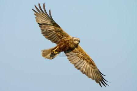 Marsh Harrier in flight