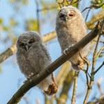 Постер, плакат: The tawny owls or brown owls