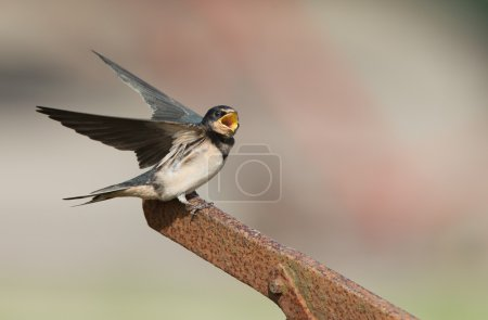 Barn Swallow on nature
