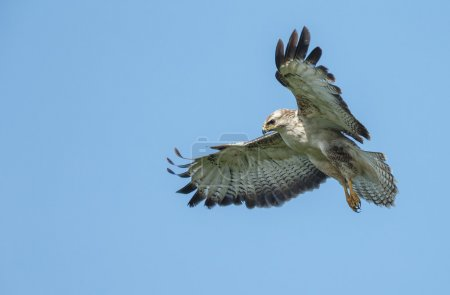 western marsh harrier male