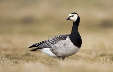 The barnacle goose bird (Branta leucopsis)...