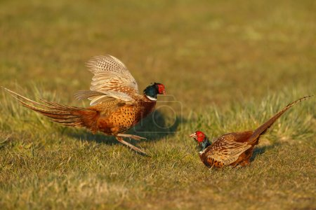Pheasant males are fighting in during mating seaso...