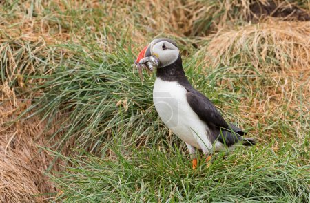 Photo for Puffin in perfect light close up - Royalty Free Image