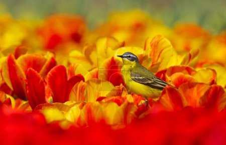 Yellow Wagtail on Dutch tulips