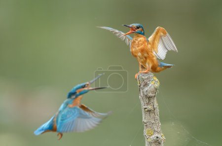 Angry Kingfisher on a twig