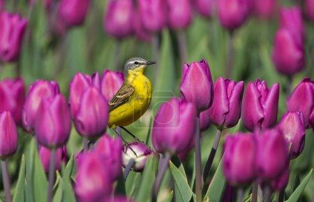 Photo pour Oiseau Bergeronnette jaune sur tulipes néerlandaises - image libre de droit