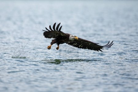 Bald Eagle hunting