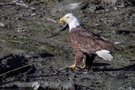 Bald eagle bird