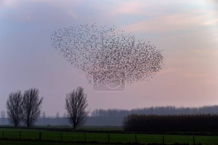 he Murmurations of Starlings on sunset