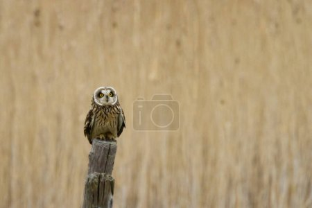 Short Eared Owl on a pole